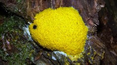 Blob: The Brainless Single-Celled Slime Mold is Sent to Space to be Observed in Microgravity