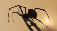 Black_Widow_spider,_Female.jpg#/media/File:Black_Widow_spider,_Female.jpg