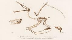 Pterodactylus (Pterosaur)