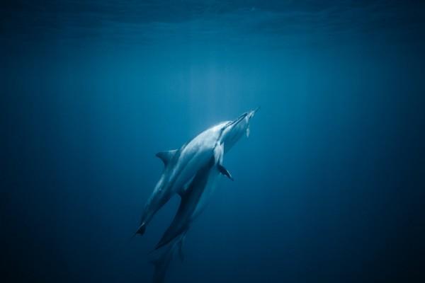 common-bottlenose-dolphins-in-deep-blue-ocean-7866304
