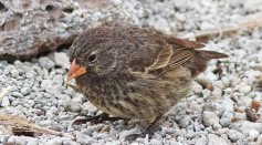 Darwin's Finches' Biology Provide Insights to the Theory of Evolution with How They Evade a Parasitic Fly