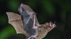 Short-tailed_Fruit_Bat_(16322859359).jpg
