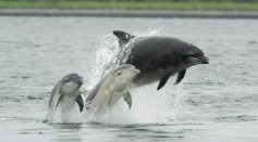 Dolphins Burn Fat at a Slower Rate as They Get Older Like Humans, Study Reveals