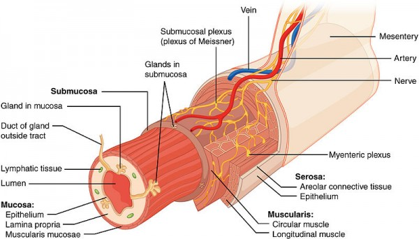 Layers of the Gastrointestinal Tract