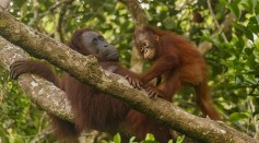 Science Times - Chimpanzee Friendship: New Study Reveals Strong Bonds Between Males Are More Successful for Search for Love and Eventually, Producing Offspring