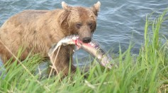 Science Times - [Watch] Alaskan Bear Wandering Around with Tapeworms From Their Butts