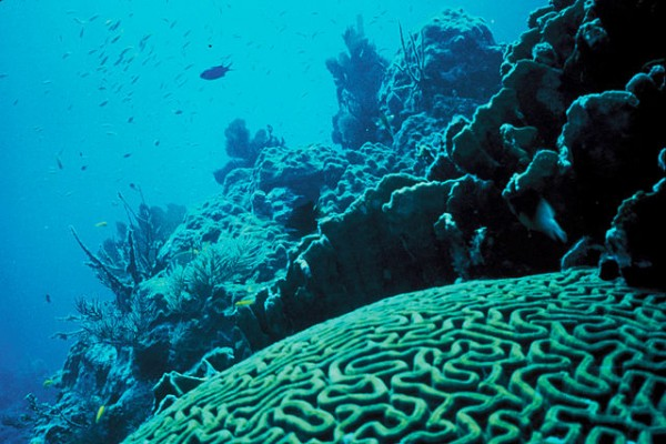 Science Times - Cells Discovered in Corals, Sea Anemones, Engulfing Bacteria; A Discovery Potential for Better Marine Health Assessment