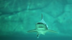 First Case of Asexual Reproduction in Sharks Born in a Tank Full of Females in Italy