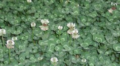 Why is White Clover Poisonous? Study Claims its Chemical Defense Mechanism Resulted From Hybridization