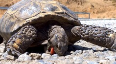 Science Times - Tortoise Diet: Watch How This Giant Reptile Goes in for the Kill for Its Not-so-Usual Meal