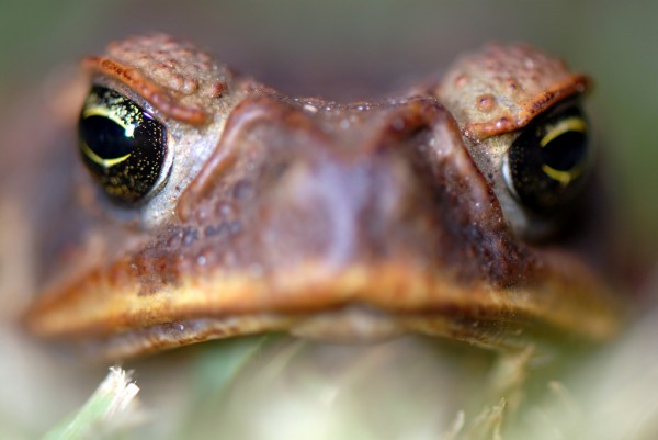 Cane Toads are Turning Into Cannibals With No Natural Predators For Being Overly Poisonous