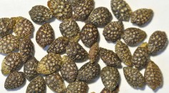 Science Times - Microorganisms Hidden in Passion Fruit Seeds Found Beneficial Rather Than Harmful; New Study Reveals Bacteria's Help in Germination, Growth, and Defense