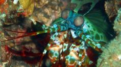 Mantis_Shrimp_(25_cm)_2.png