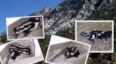 Science Times - Spotted Skunks Discovery: 7 Species Found Existing and They All Do Some Tricks as a Warning Before Spraying