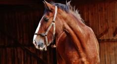 animal-barn-horse-mammal-208866