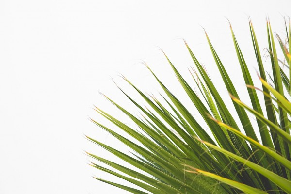 Science Times - Traveling Bug Causes the Palm Tree Disease in Florida; Scientists Assume This Insect Migrated From Jamaica