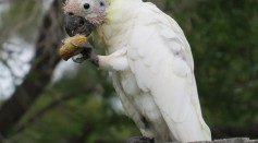Wild Cockatoos Seen Using Utensils Made From Tree Branches in Opening Fruits