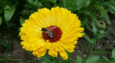 Fly Pollinators' Preference on Color Can Influence Color Signals of Flowers for Pollination, Study Finds