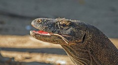 Science Times - Komodo Dragons Now Listed as 'Endangered'; IUCN Red List Warns Threat of 2-in-5 Shark Extinction