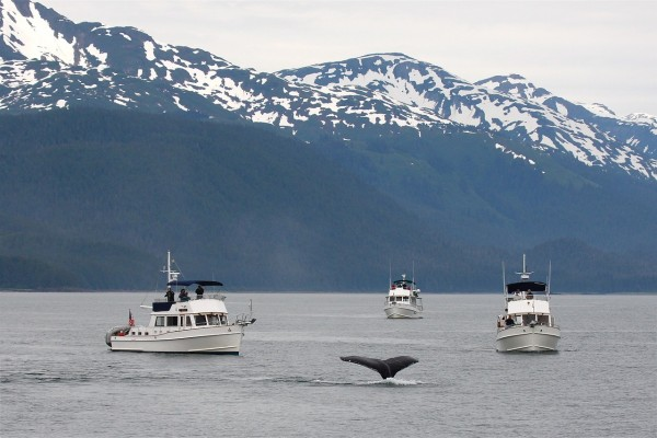 Whales Get Stressed From Ship Noise During Whale Watching, Study Finds