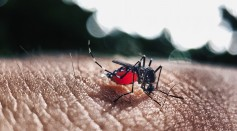 Mosquitoes Fed On Sugar Gave Them Immunity from Viral Infections, Potentially Preventing Spread of Arboviruses