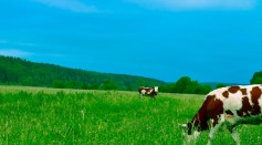cows-grazing-on-field-against-sky-254178/