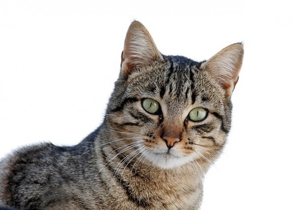 Science Times - Cat Species: Scientists Reveal Where the Classic Tabby Got Its Stripe Feature