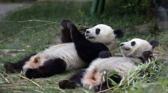 Giant Panda Twins Born in a Madrid Zoo Look Like Screaming Jelly Beans: Here's Why They Are So Tiny at Birth