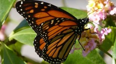 Science Times - Milkweed Butterflies Discovered Feeding on Their Own Species' Young; Scientists Suggest This Behavior Demonstrates an Offering for 'Wedding Gifts'