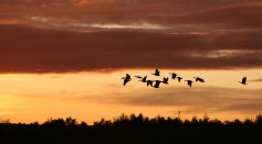 Large Land Birds Fly Over the Open Ocean Without Taking A Break or Rest: Here's How They Do It