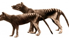 Colorized Film of Tasmanian Tiger in Australia Shows What the Extinct Thylacine Might Look Like