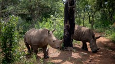 Science Times - Radioactive Injections: How Does This Method Help Against Slaughtering of Rhinoceroses, Poaching, Smuggling of Rhino Horns?