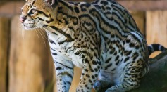 6 Female Ocelots Returned to the Wild After Being Rescued From Wildlife Traffickers