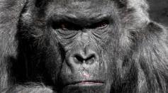 close-up-photo-of-gorilla-35992/