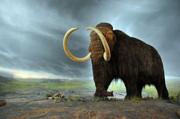 Science Times - Woolly Mammoth Back to Life: This Is What George Church's Colossal Intends To Happen Through CRISPR Gene-Editing System