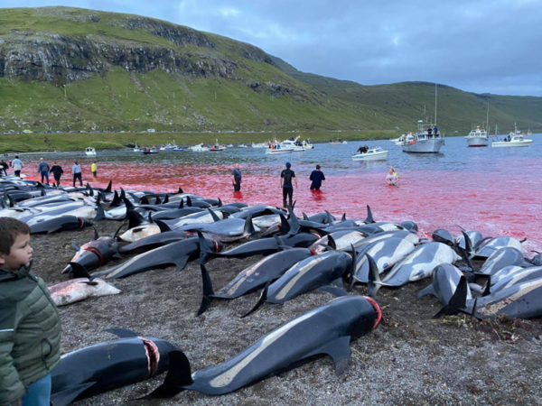 1428-dolphins-killed-faroes