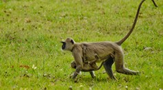Some Primates Carrying Their Baby's Cadaver Suggests That It May Be a Form of Grieving