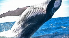 Whales Have Five Fingers Hidden in Their Flippers, Necropsy Revealed