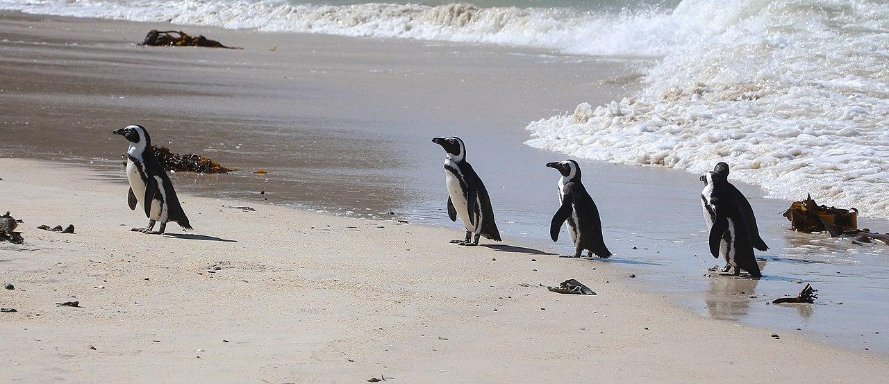 63 con chim cánh cụt châu Phi nguy cấp được tìm thấy đã chết ở Cape Town, bầy ong mật được coi là nghi phạm