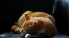 sleeping-orange-tabby-cat-135859/