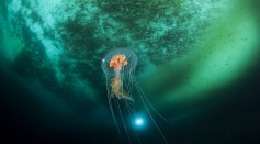 Life Beneath the Ice: Short Musical Film Showcases a Magical Portal Full of Antarctic Jellies