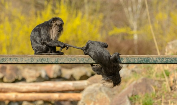 monkeys-playing-on-metal-beam-in-zoological-garden-4168330/