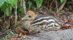Science Times - Humans in New Guinea May Have Hatched, Raised Cassowaries 18,000 Years Ago