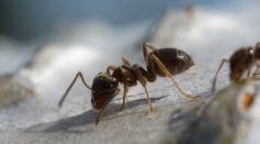 Science Times - Ant Social Parasitism: Plot Twists in the Origins and Evolution of These Tiny Animals Revealed