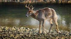 side-view-of-deer-walking-in-lake-at-forest-247385/
