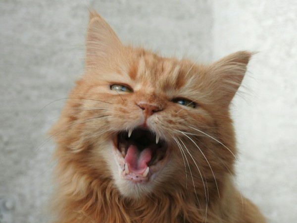 Science Times - Larynx, Throat are Reasons House Cats Cannot Roar; Study Reveals Reason for Such Incapability
