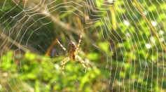 Science Times – Spider Silk: Research Reveals Cobweb's Role in Treating Wound; Scientists Attempt Detection of Antimicrobial Activity