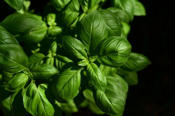Preclinical Study Claims Alzheimer's Disease Can Be Prevented By a Natural Compound Found in Basil