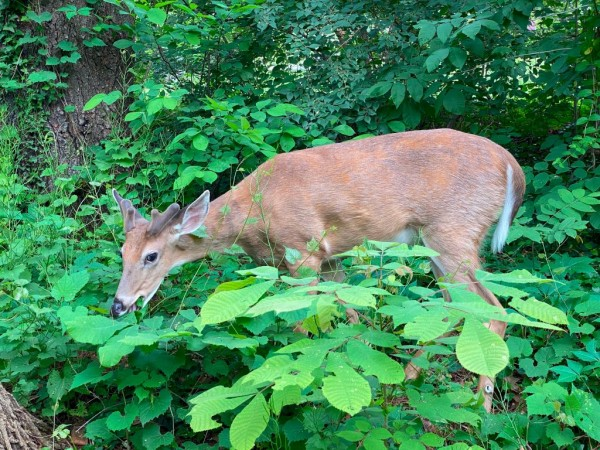 Science Times - US Deer in Danger As Universally Deadly Diseases Spread Across the Nation