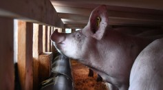 Science Times - African Swine Fever Spreads Anew; Reports Describe It as Another Global Pandemic, This Time Among Pigs